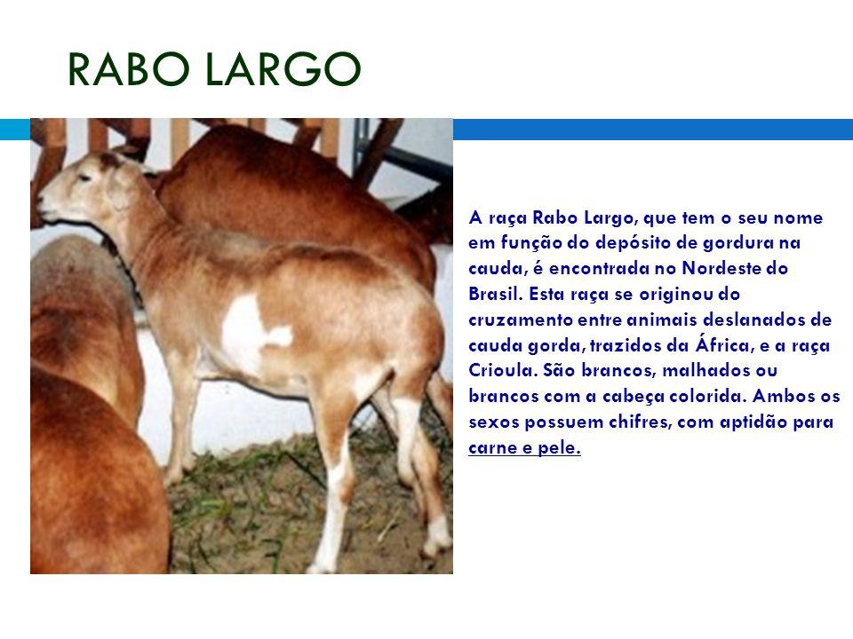 RABO LARGO A raça Rabo Largo, que tem o seu nome em função do depósito de gordura na cauda, é encontrada no Nordeste do Brasil. Esta raça se originou