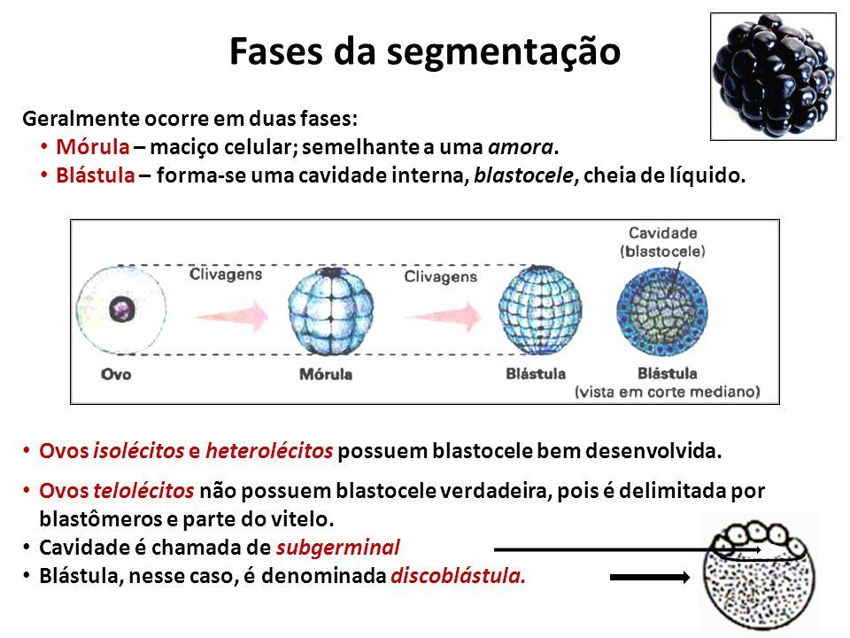 Fases da segmentação Geralmente ocorre em duas fases: Mórula – maciço celular; semelhante a uma amora.
