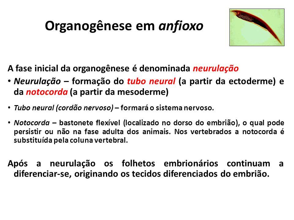 Organogênese em anfioxo A fase inicial da organogênese é denominada neurulação Neurulação – formação do tubo neural (a partir da ectoderme) e da notocorda (a partir da mesoderme) Tubo neural (cordão nervoso) – formará o sistema nervoso.