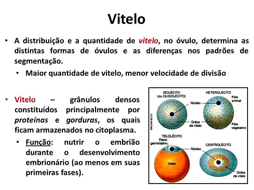 Vitelo Vitelo – grânulos densos constituídos principalmente por proteínas e gorduras, os quais ficam armazenados no citoplasma.
