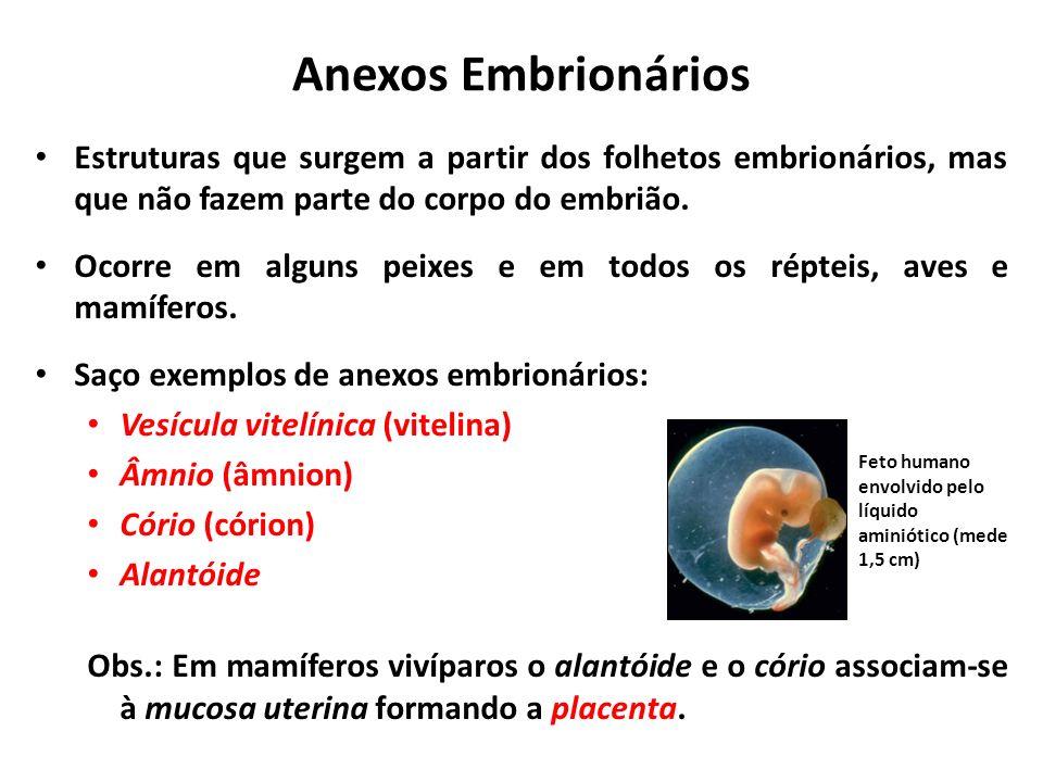 Anexos Embrionários Estruturas que surgem a partir dos folhetos embrionários, mas que não fazem parte do corpo do embrião.