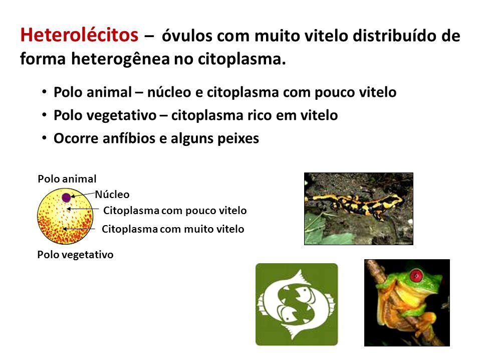Vesícula Vitelínica Estrutura que envolve o vitelo (exerce importante papel no processo de nutrição) Rico em vasos sanguíneos É bem desenvolvida em peixes, répteis e aves (animais que possuem ovos telolécitos) Nos mamíferos (ovos alécitos) a vesícula vitelínica é preenchida por líquido e não tem significado no processo de nutrição; resquício evolutivo.
