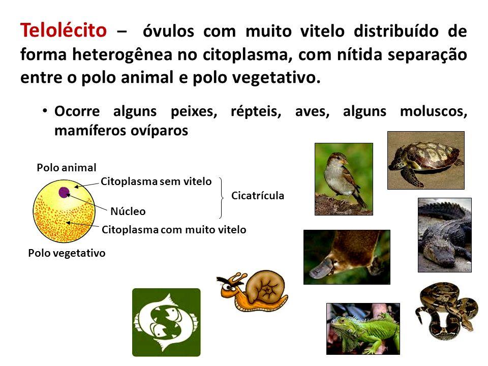 Âmnio e Cório Surgiram nos répteis e se manteve nas aves e nos mamíferos.