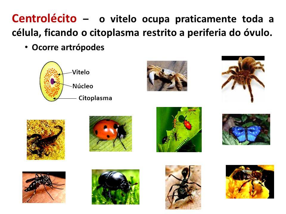 TIPOS DE ÓVULOSORGANISMO Alécito Mamíferos placentários Isolécitos (oligolécitos) Equinodermos; Cefalocordados Heterolécitos Peixes; Anfíbios Telolécitos Peixes; Répteis; Aves; Moluscos; Mamíferos ovíparos Centrolécitos Artrópodes