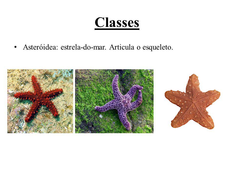 Ophiuróidea: estrela-serpente. Placas móveis articuladas, sem ânus.
