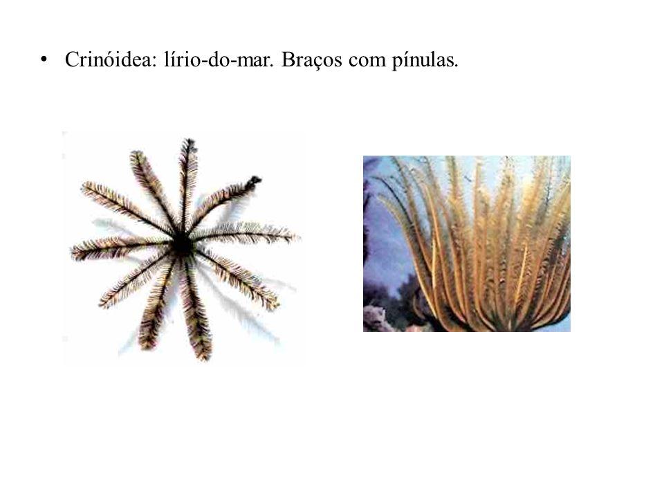 Holuthuróidea: pepino-do-mar.
