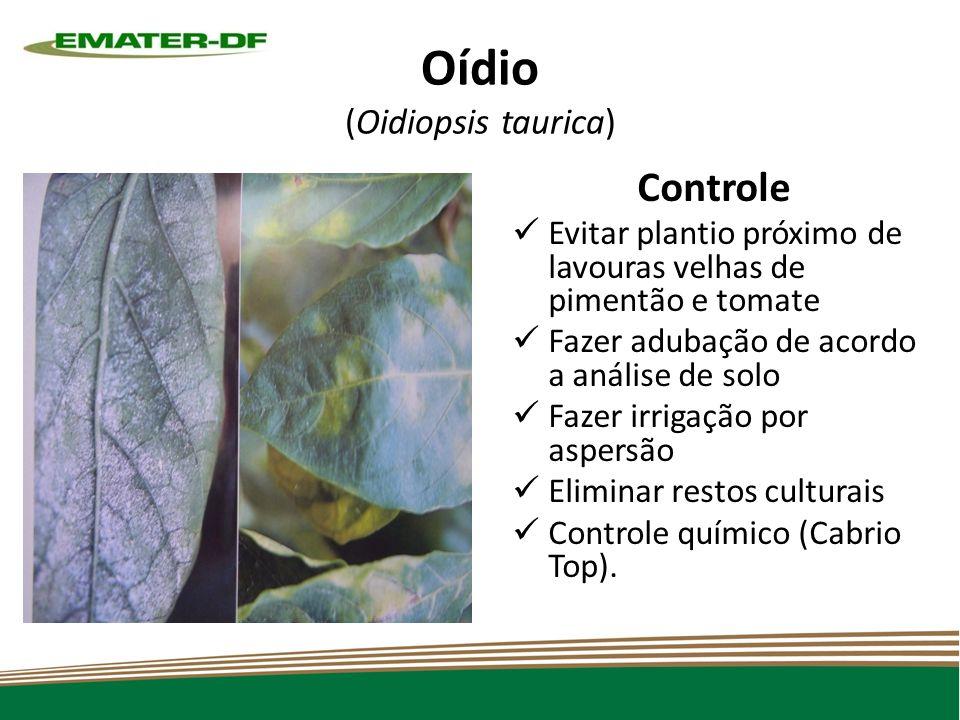 Oídio (Oidiopsis taurica) Controle Evitar plantio próximo de lavouras velhas de pimentão e tomate Fazer adubação de acordo a análise de solo Fazer irrigação por aspersão Eliminar restos culturais Controle químico (Cabrio Top).