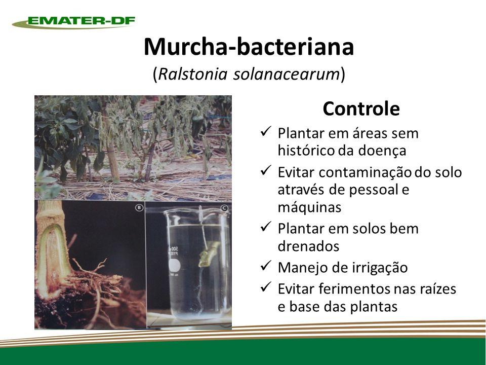 Murcha-bacteriana (Ralstonia solanacearum) Controle Plantar em áreas sem histórico da doença Evitar contaminação do solo através de pessoal e máquinas Plantar em solos bem drenados Manejo de irrigação Evitar ferimentos nas raízes e base das plantas