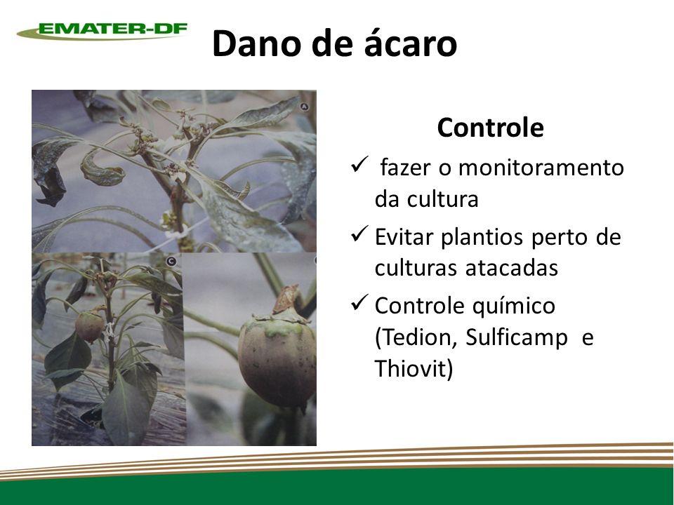 Dano de ácaro Controle fazer o monitoramento da cultura Evitar plantios perto de culturas atacadas Controle químico (Tedion, Sulficamp e Thiovit)