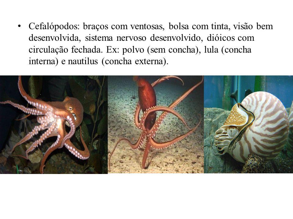 Cefalópodos: braços com ventosas, bolsa com tinta, visão bem desenvolvida, sistema nervoso desenvolvido, dióicos com circulação fechada. Ex: polvo (se