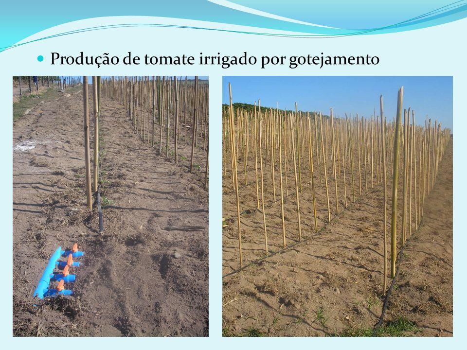 Produção de tomate irrigado por gotejamento