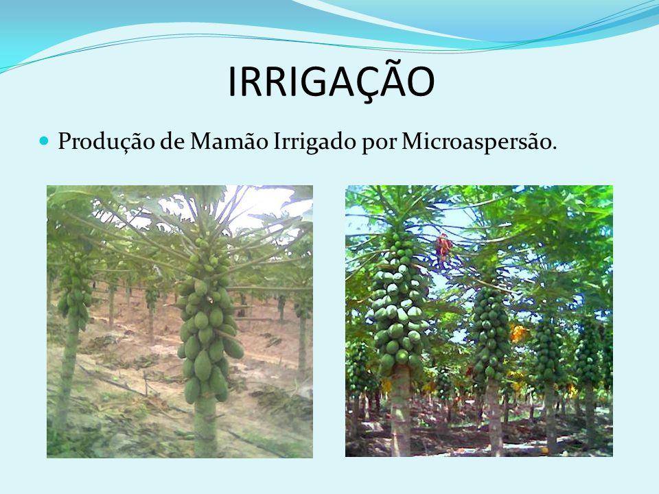 IRRIGAÇÃO Produção de Mamão Irrigado por Microaspersão.