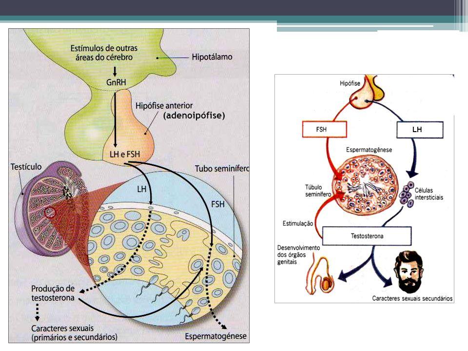 (adenoipófise) LH