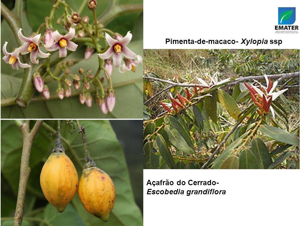 Pimenta-de-macaco- Xylopia ssp Açafrão do Cerrado- Escobedia grandiflora