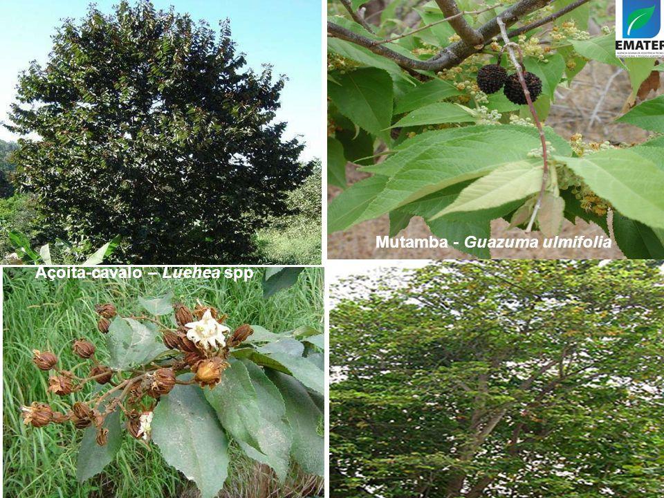 Mutamba - Guazuma ulmifolia Açoita-cavalo – Luehea spp
