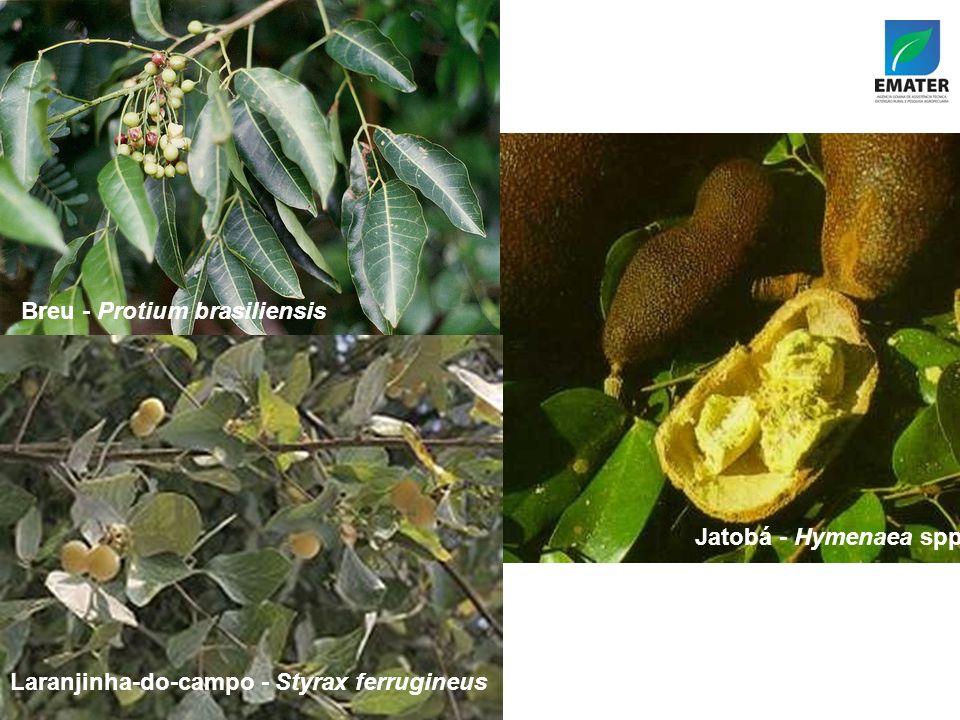 Jatobá - Hymenaea spp Breu - Protium brasiliensis Laranjinha-do-campo - Styrax ferrugineus Jatobá - Hymenaea spp