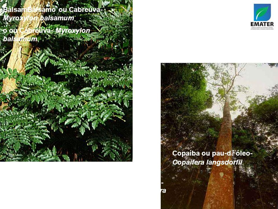 BálsamBálsamo ou Cabreúva- Myroxylon balsamum o ou Cabreúva- Myroxylon balsamum Copaíba ou pau- d´óleo-Capaifera langsdorfii Copaíba ou pau-d´óleo- Copaifera langsdorfii