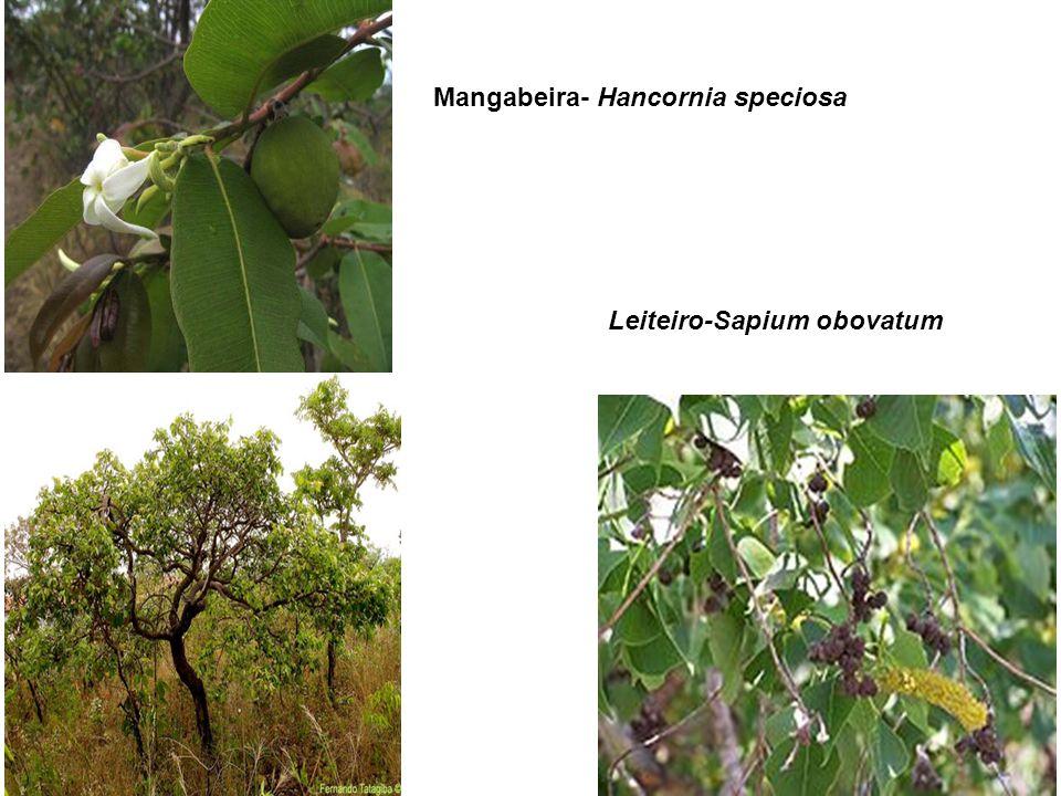 Mangabeira- Hancornia speciosa Leiteiro-Sapium obovatum Mangabeira- Hancornia speciosa Leiteiro-Sapium obovatum