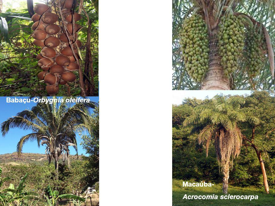 Babaçu-Orbygnia oleifera Macaúba- Acrocomia sclerocarpa