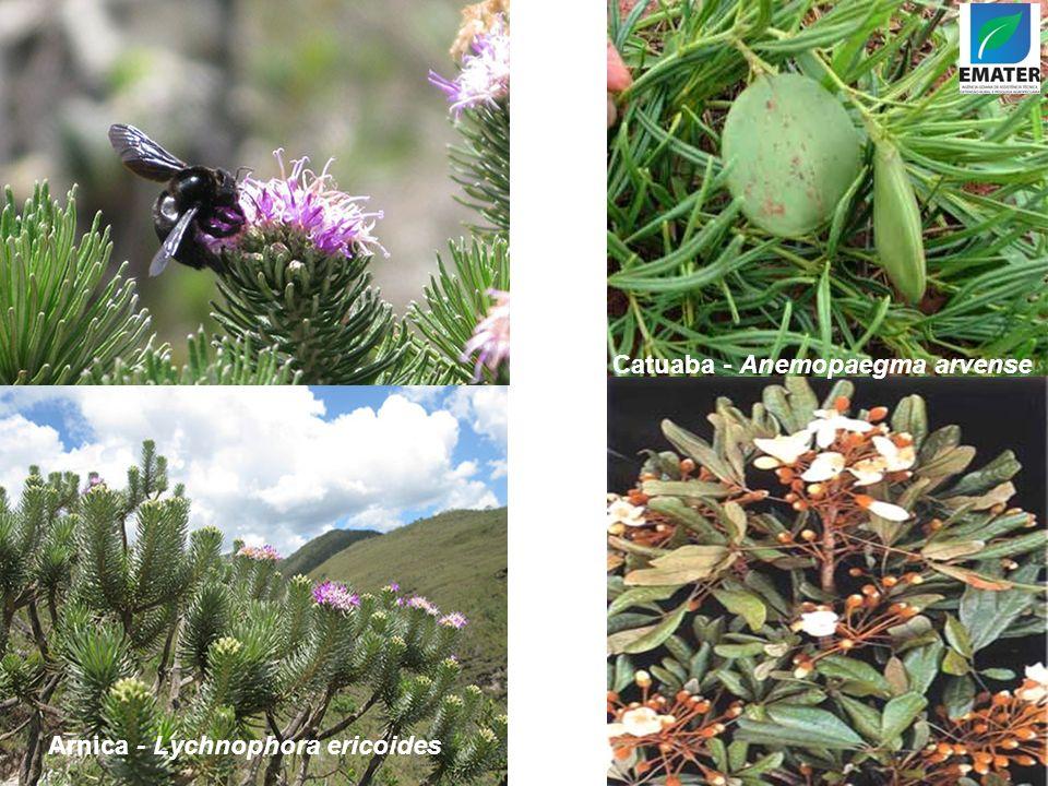 Arnica - Lychnophora ericoides Catuaba - Anemopaegma arvense