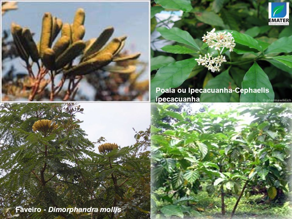 Poaia ou Ipecacuanha-Cephaelis ipecacuanha Faveiro - Dimorphandra mollis