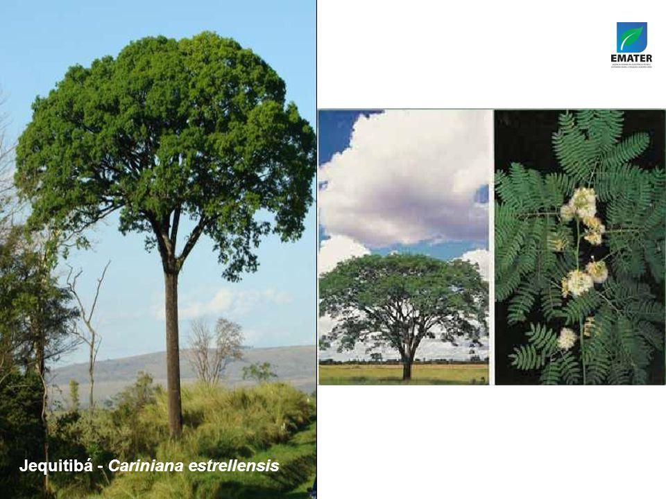 Jequitibá - Cariniana estrellensis Tamboril-da-mata – Enterolobium contortisiliquum