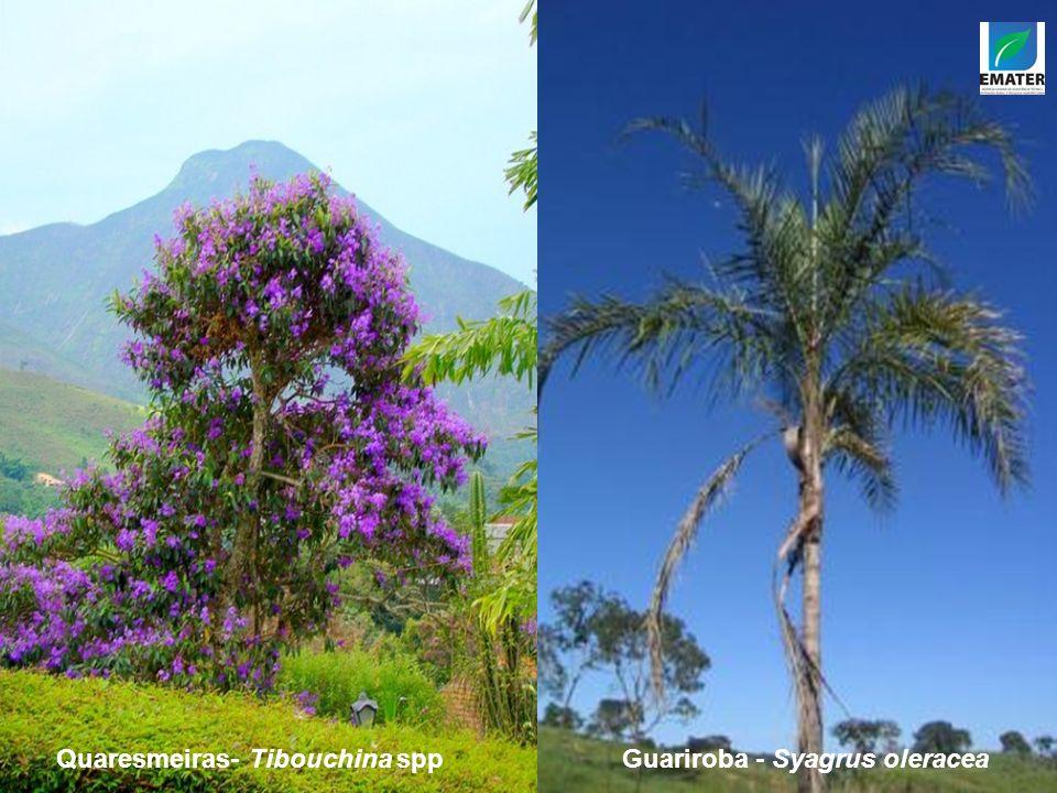 Quaresmeiras- Tibouchina sppGuariroba - Syagrus oleracea