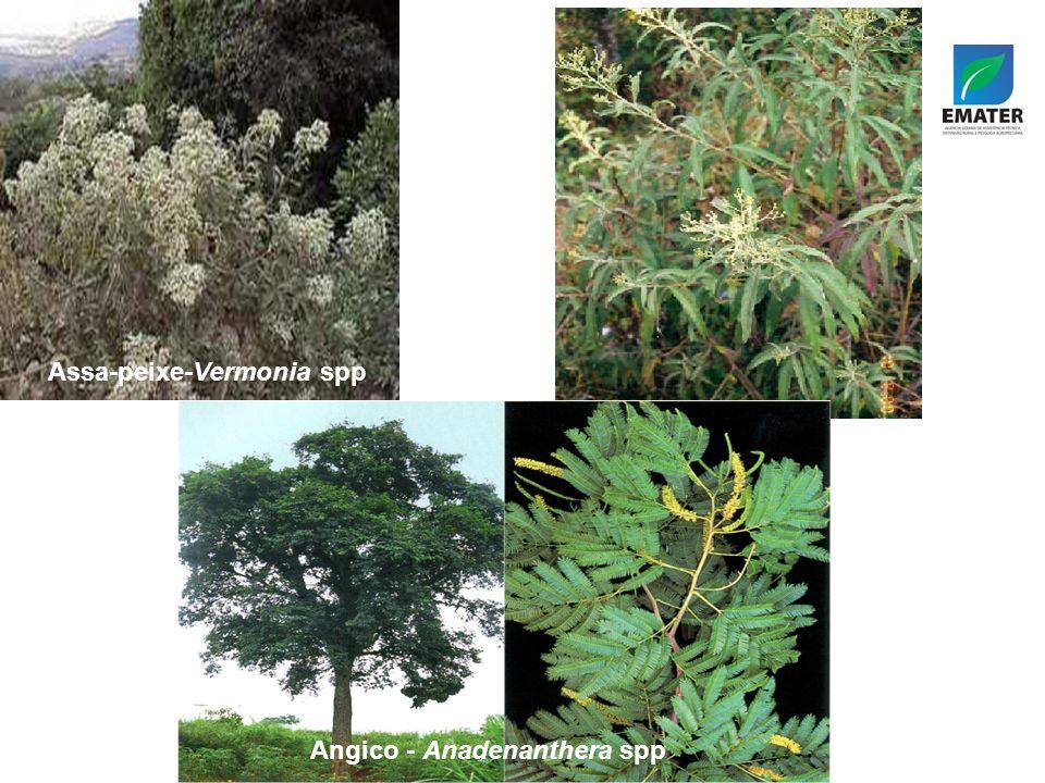 Assa-peixe-Vermonia spp Angico - Anadenanthera spp