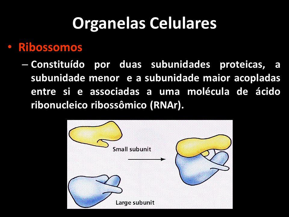 Ribossomos – Funções: Sintetizar proteínas para a célula.