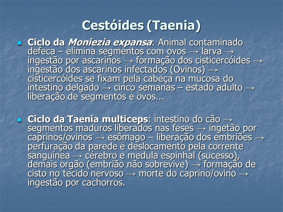 Cestóides (Taenia) Ciclo da Moniezia expansa: Animal contaminado defeca – elimina segmentos com ovos larva ingestão por ascarinos formação dos cistice