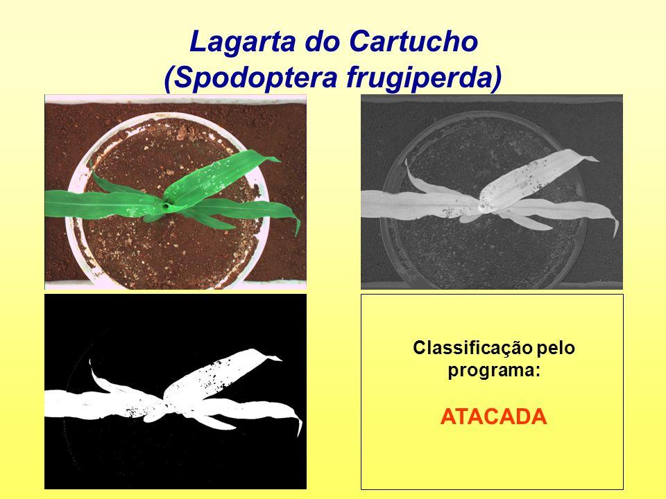 Lagarta do Cartucho (Spodoptera frugiperda) Classificação pelo programa: ATACADA