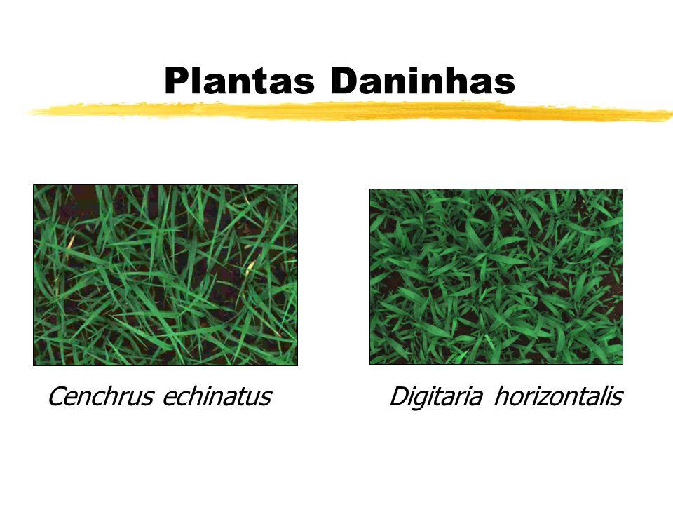 Plantas Daninhas Digitaria horizontalisCenchrus echinatus
