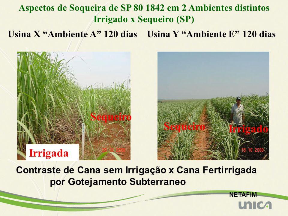 Irrigada Sequeiro Irrigado Aspectos de Soqueira de SP 80 1842 em 2 Ambientes distintos Irrigado x Sequeiro (SP) Usina X Ambiente A 120 diasUsina Y Amb