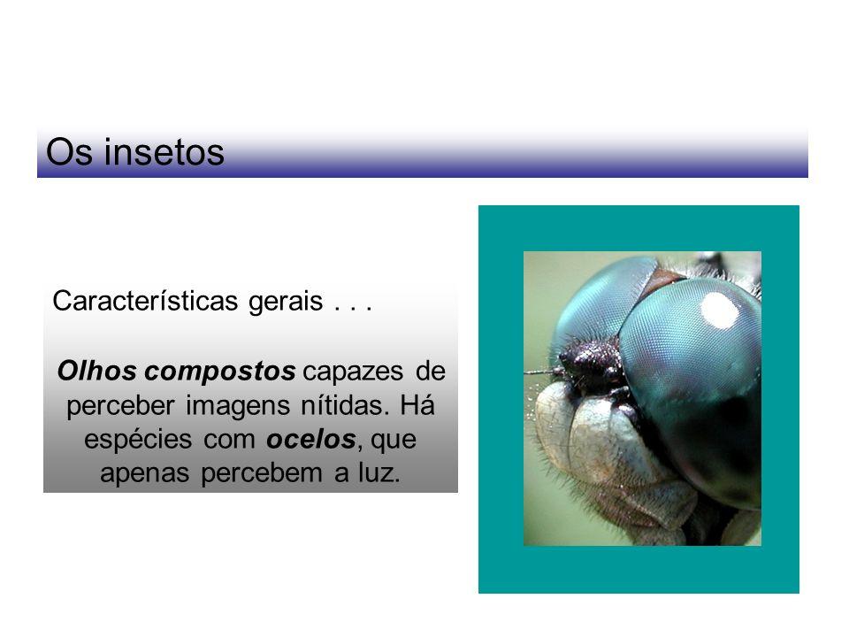 Os insetos Características gerais... Olhos compostos capazes de perceber imagens nítidas. Há espécies com ocelos, que apenas percebem a luz.