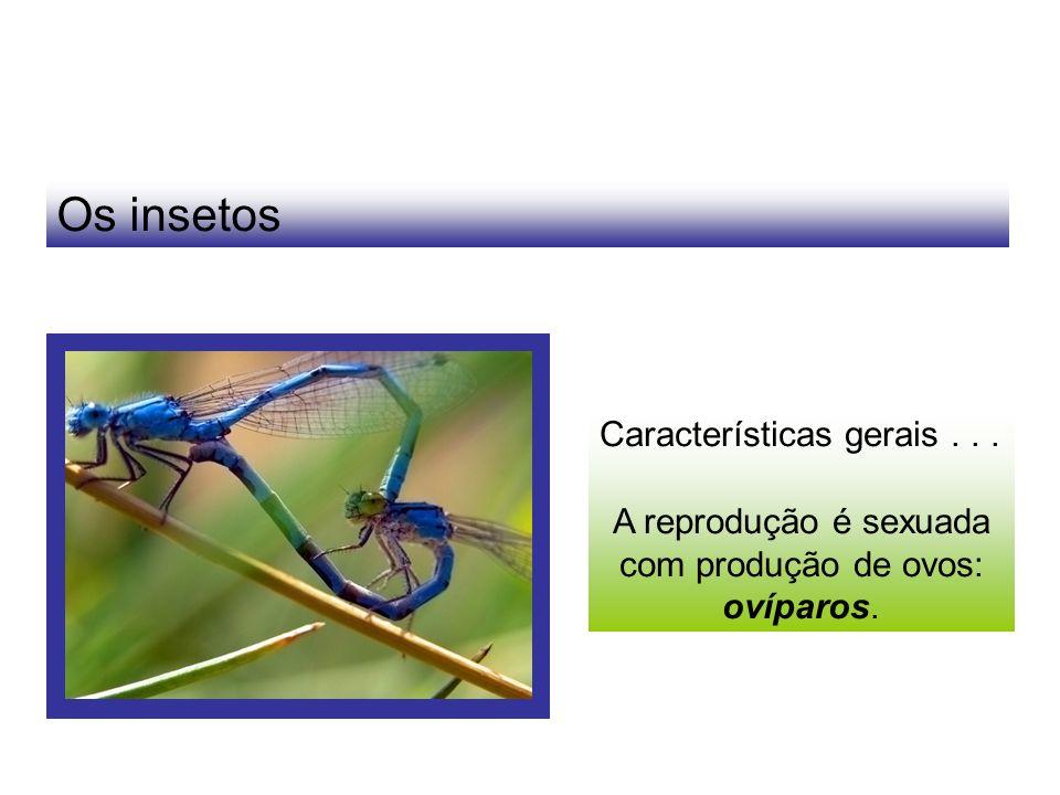 Os insetos Características gerais... A reprodução é sexuada com produção de ovos: ovíparos.