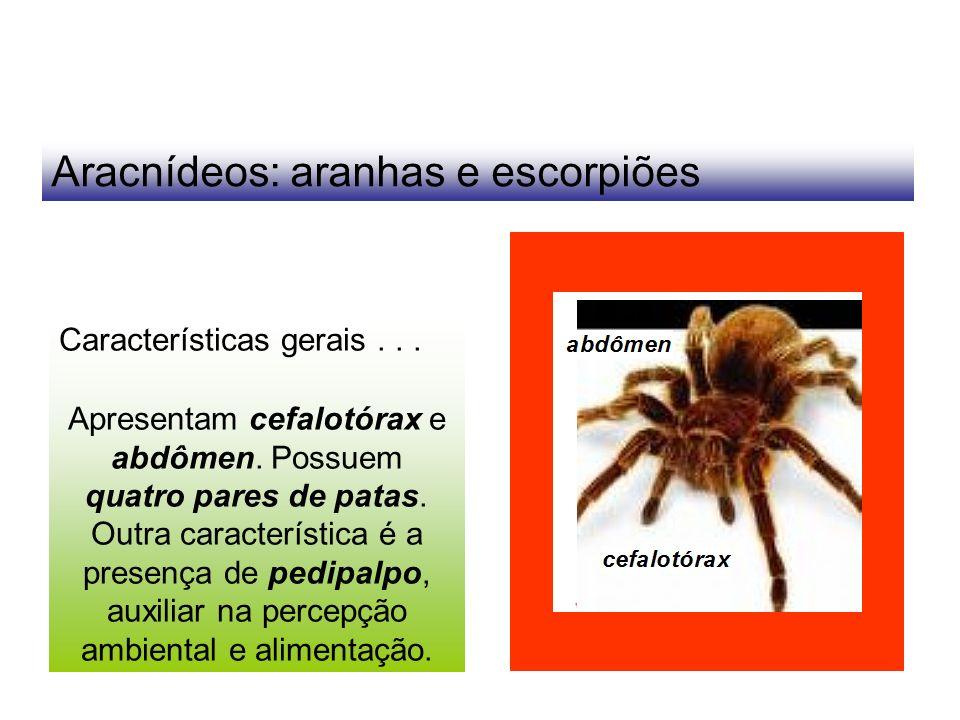 Aracnídeos: aranhas e escorpiões Características gerais... Apresentam cefalotórax e abdômen. Possuem quatro pares de patas. Outra característica é a p