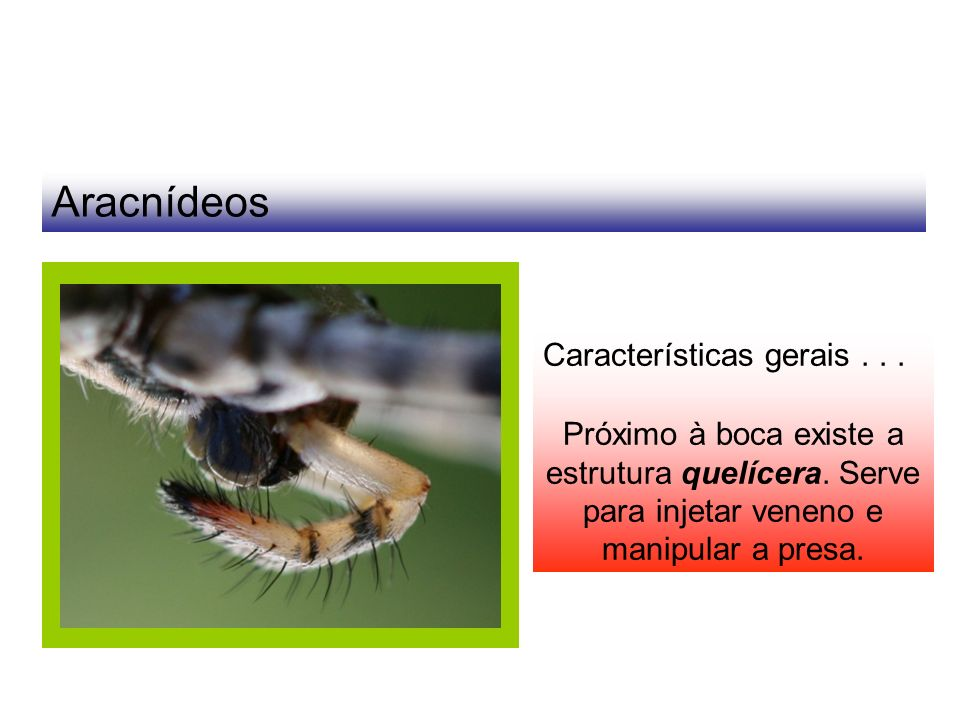 Aracnídeos Características gerais... Próximo à boca existe a estrutura quelícera. Serve para injetar veneno e manipular a presa.