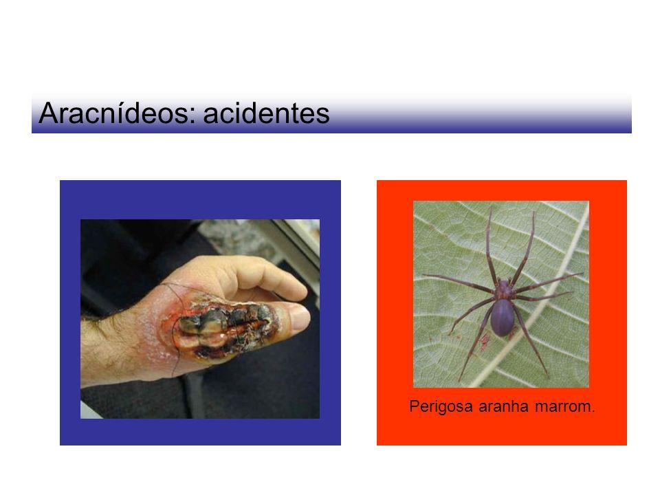 Aracnídeos: acidentes Perigosa aranha marrom.