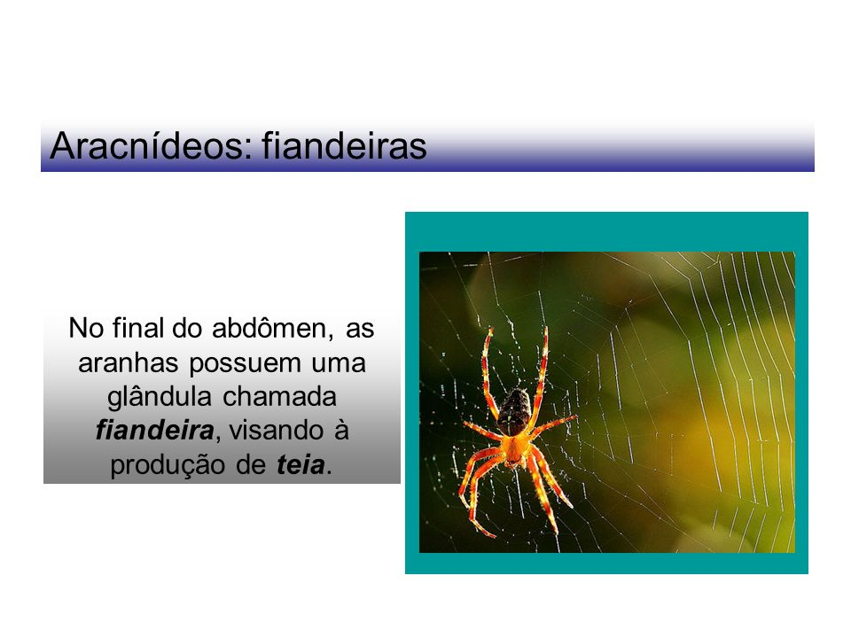 Aracnídeos: fiandeiras No final do abdômen, as aranhas possuem uma glândula chamada fiandeira, visando à produção de teia.