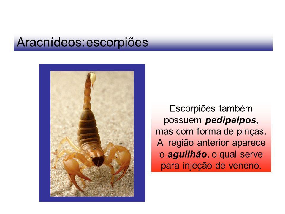 Aracnídeos: escorpiões Escorpiões também possuem pedipalpos, mas com forma de pinças. A região anterior aparece o aguilhão, o qual serve para injeção