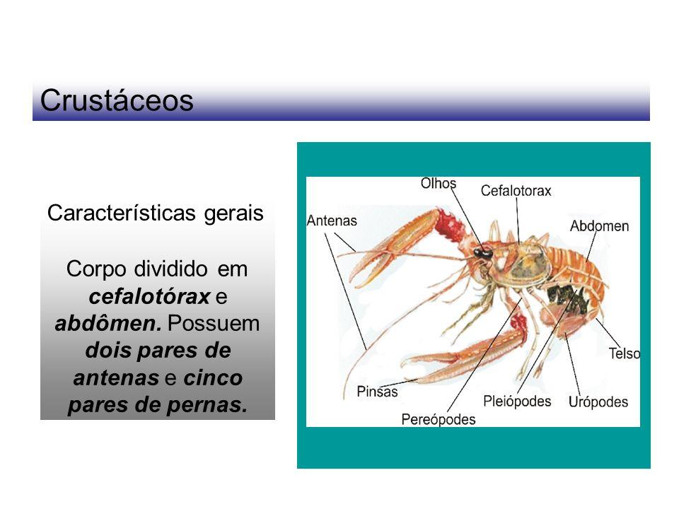 Crustáceos Características gerais Corpo dividido em cefalotórax e abdômen. Possuem dois pares de antenas e cinco pares de pernas.