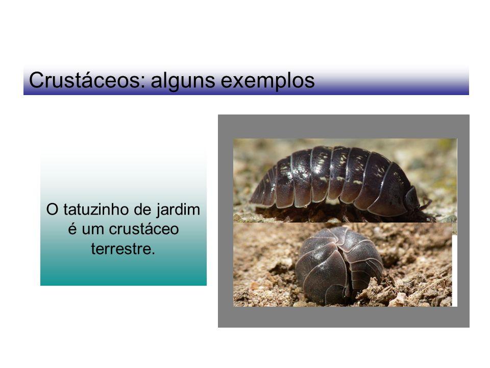 Crustáceos: alguns exemplos O tatuzinho de jardim é um crustáceo terrestre.