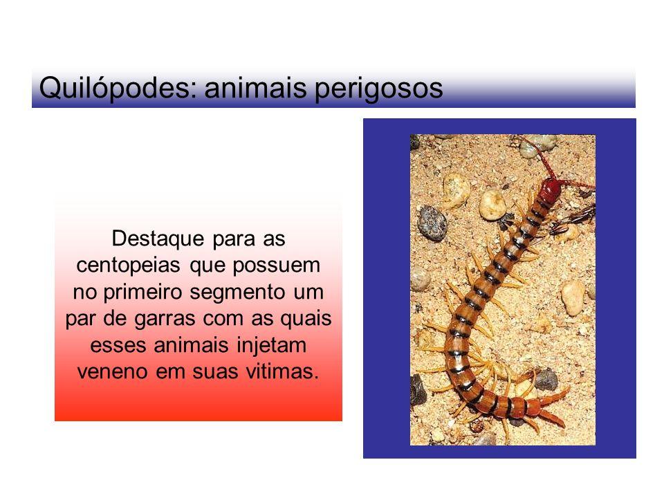 Quilópodes: animais perigosos Destaque para as centopeias que possuem no primeiro segmento um par de garras com as quais esses animais injetam veneno