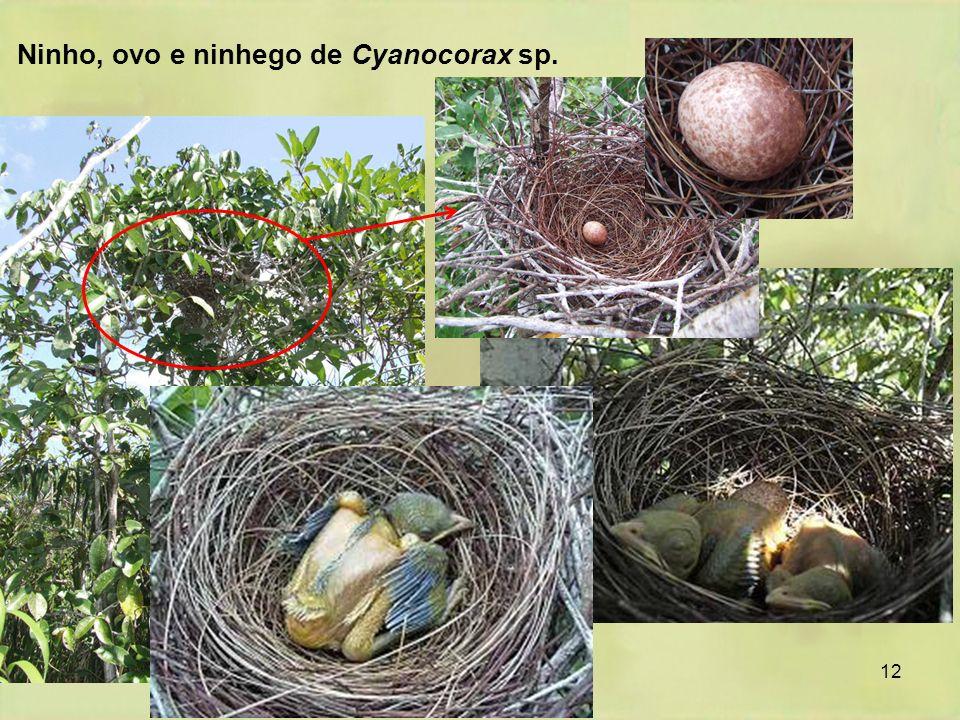 12 Ninho, ovo e ninhego de Cyanocorax sp.