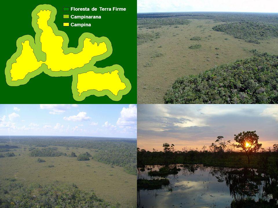7 Floresta de Terra Firme Campinarana Campina