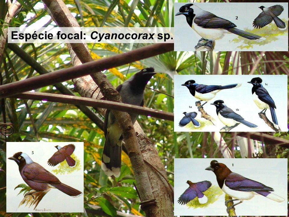 9 MATERIAL E MÉTODOS Espécie focal: Cyanocorax sp.