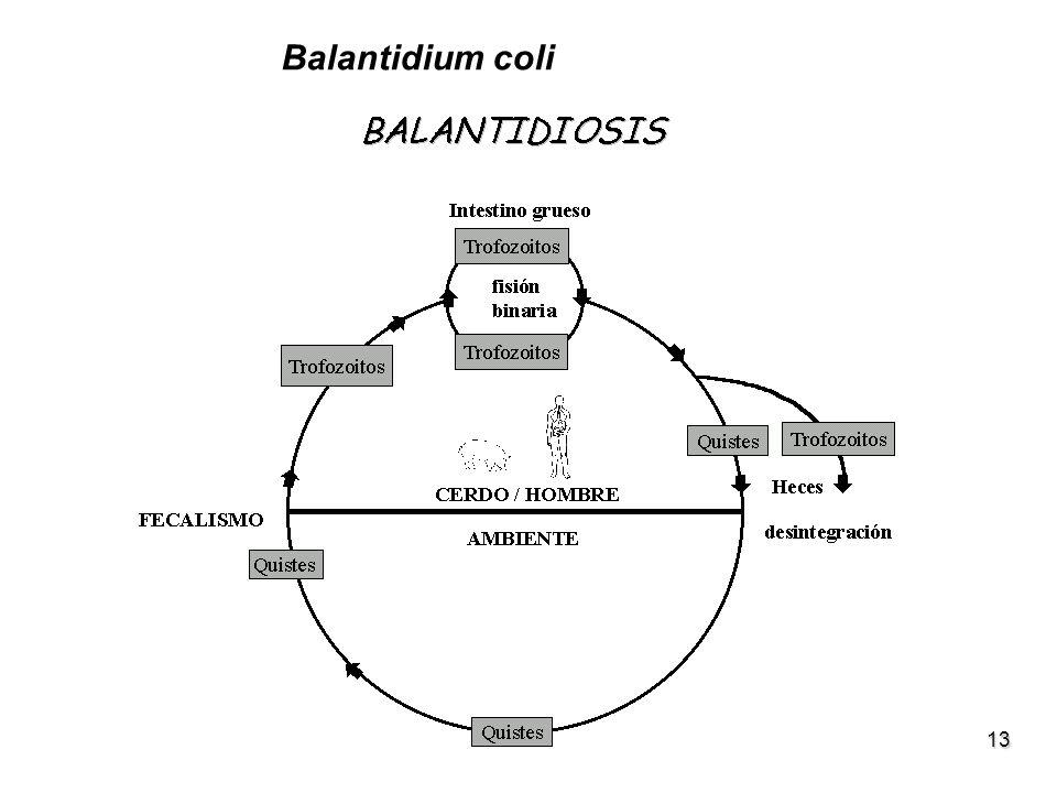 13 Balantidium coli