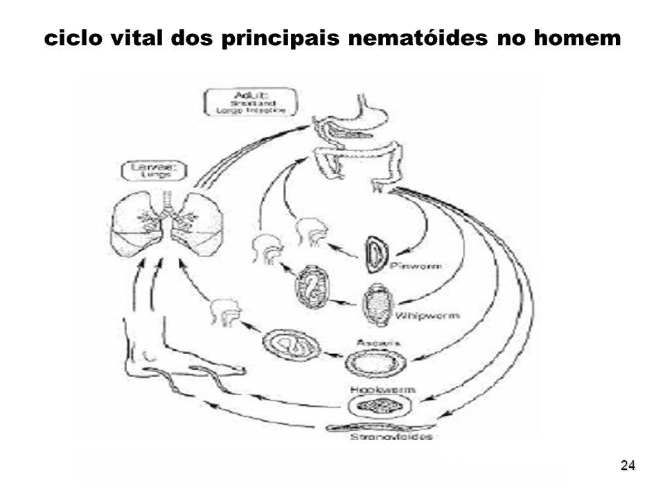 24 ciclo vital dos principais nematóides no homem