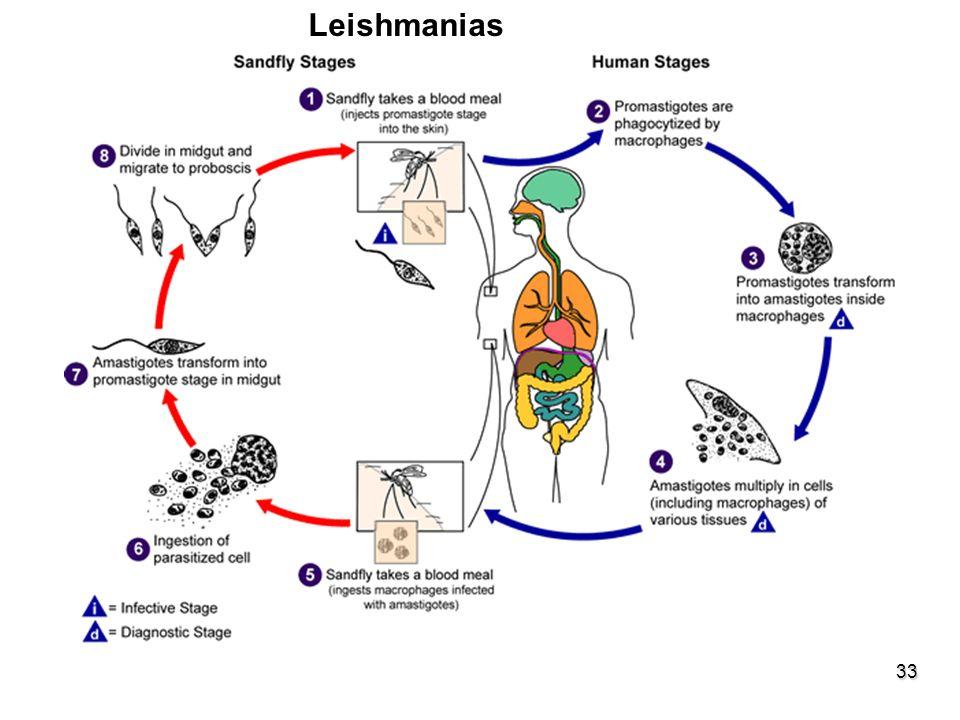 33 Leishmanias ESFEROMASTÍGOTAS-PARAMASTÍGOTASGênero inseto - Lutzomyia