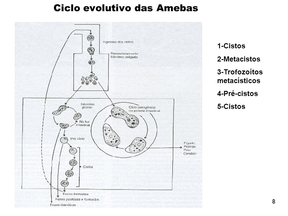 8 Ciclo evolutivo das Amebas 1-Cistos 2-Metacistos 3-Trofozoítos metacísticos 4-Pré-cistos 5-Cistos